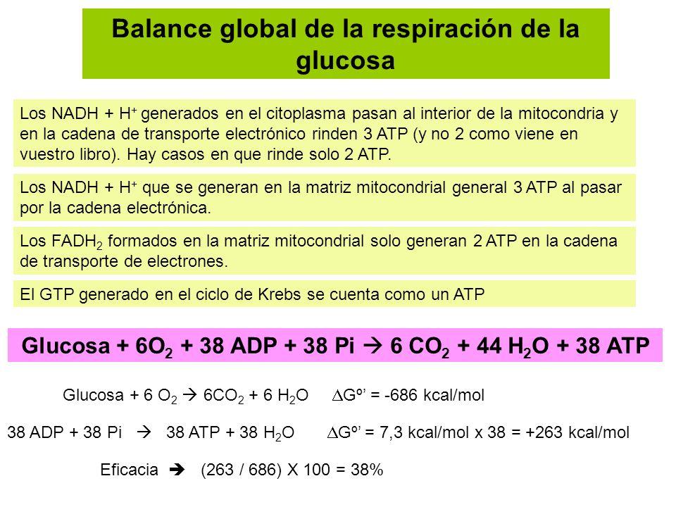Balance global de la respiración de la glucosa Los NADH + H + generados en el citoplasma pasan al interior de la mitocondria y en la cadena de transpo