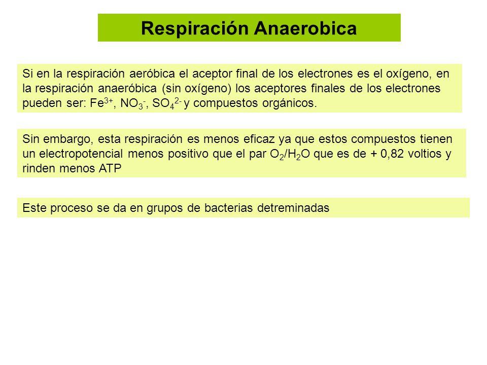 Respiración Anaerobica Si en la respiración aeróbica el aceptor final de los electrones es el oxígeno, en la respiración anaeróbica (sin oxígeno) los