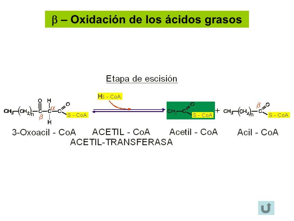 – Oxidación de los ácidos grasos
