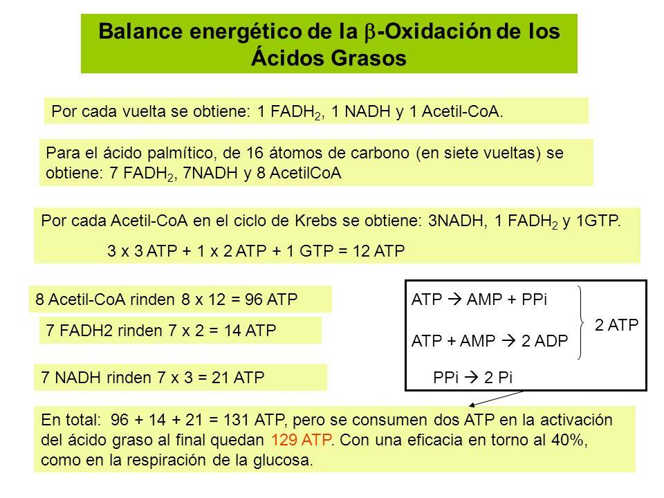 Balance energético de la -Oxidación de los Ácidos Grasos Por cada vuelta se obtiene: 1 FADH 2, 1 NADH y 1 Acetil-CoA. Para el ácido palmítico, de 16 á