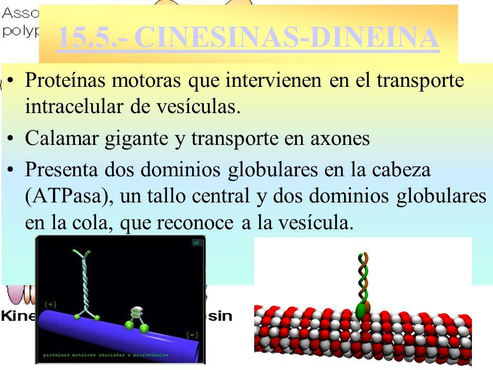 15.5.- CINESINAS-DINEINA Proteínas motoras que intervienen en el transporte intracelular de vesículas. Calamar gigante y transporte en axones Presenta