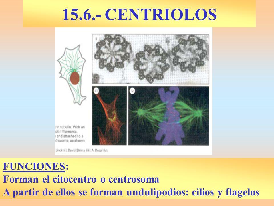 15.6.- CENTRIOLOS FUNCIONES: Forman el citocentro o centrosoma A partir de ellos se forman undulipodios: cilios y flagelos