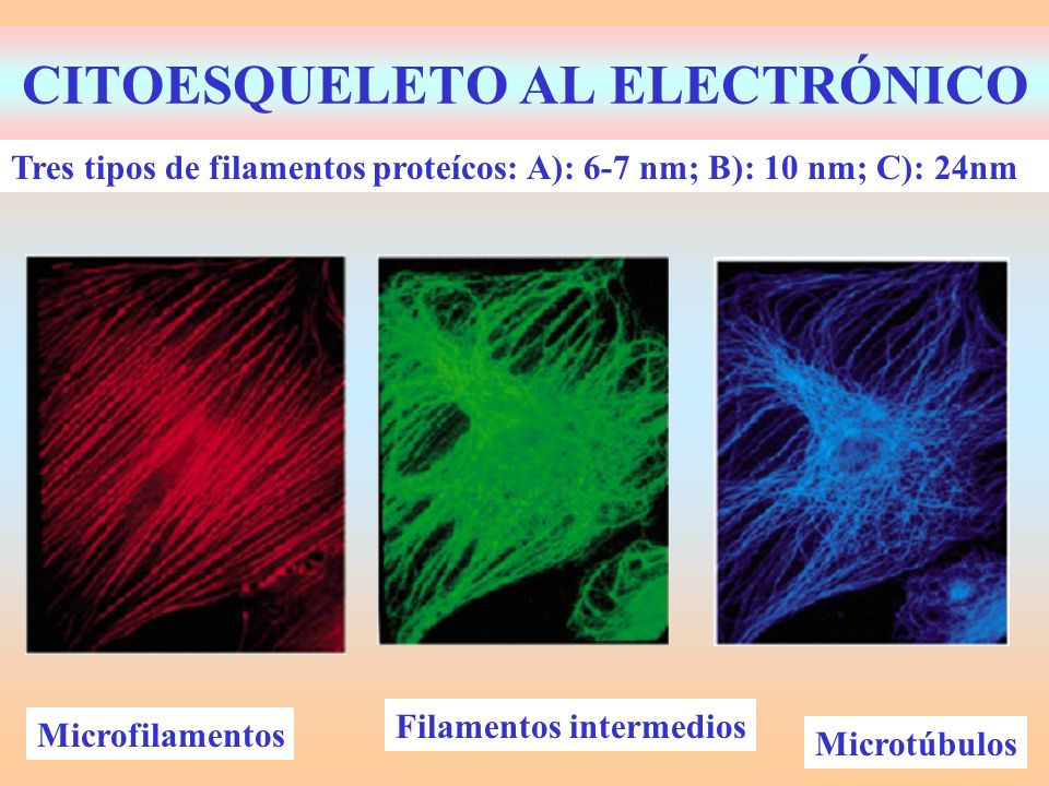 15.5.- FUNCIONES CITOESQUELETO Microfilamentos: –Actina: Esquelética, Locomoción, Contráctil – Miosina: Esquelética y Contráctil.