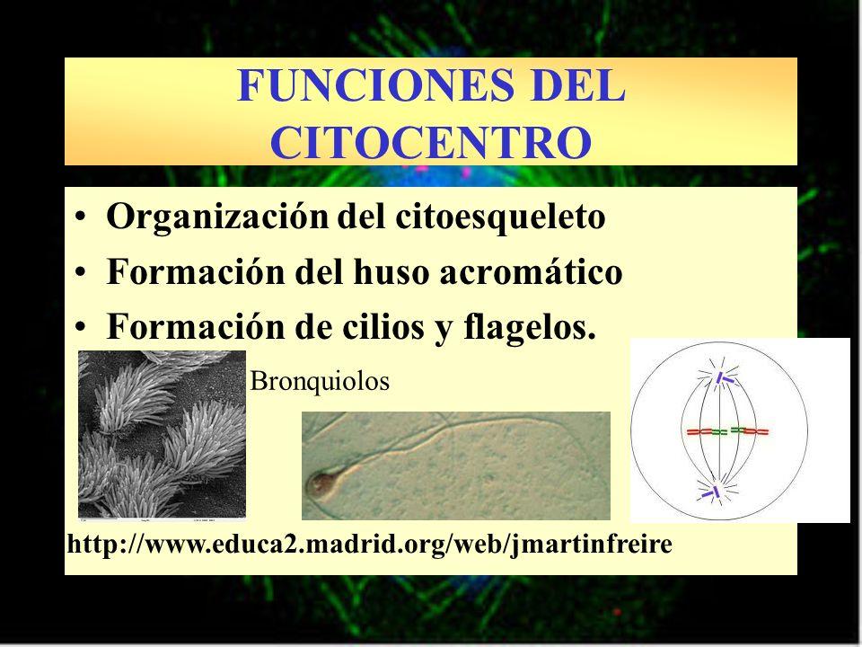 Organización del citoesqueleto Formación del huso acromático Formación de cilios y flagelos. http://www.educa2.madrid.org/web/jmartinfreire FUNCIONES