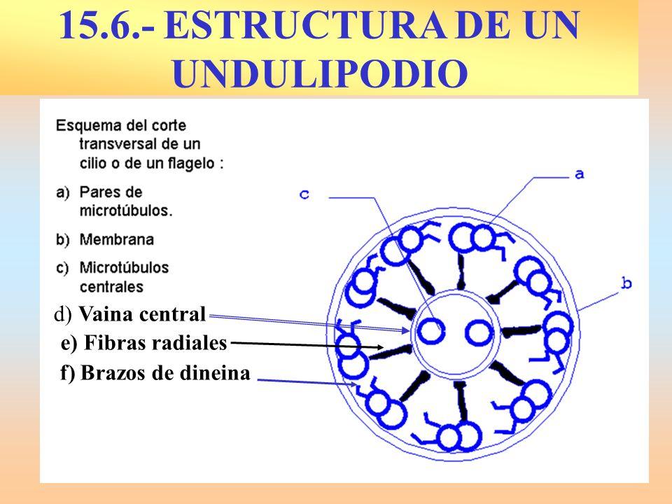 d) Vaina central e) Fibras radiales f) Brazos de dineina 15.6.- ESTRUCTURA DE UN UNDULIPODIO