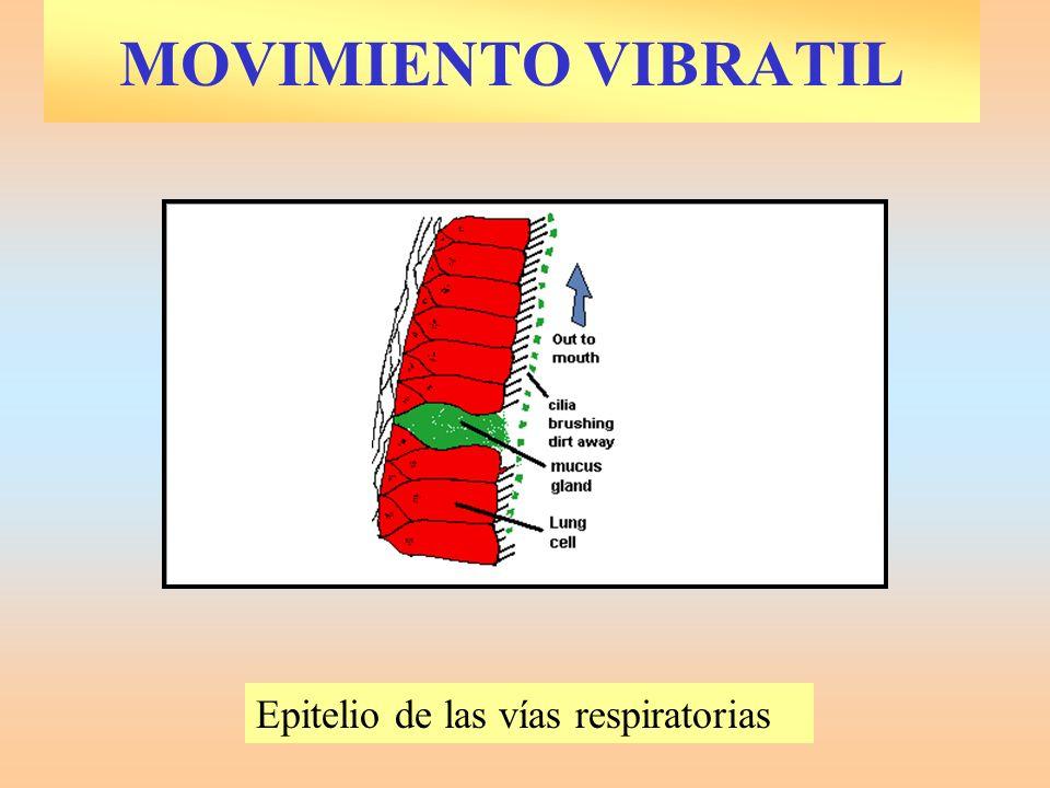 MOVIMIENTO VIBRATIL Epitelio de las vías respiratorias
