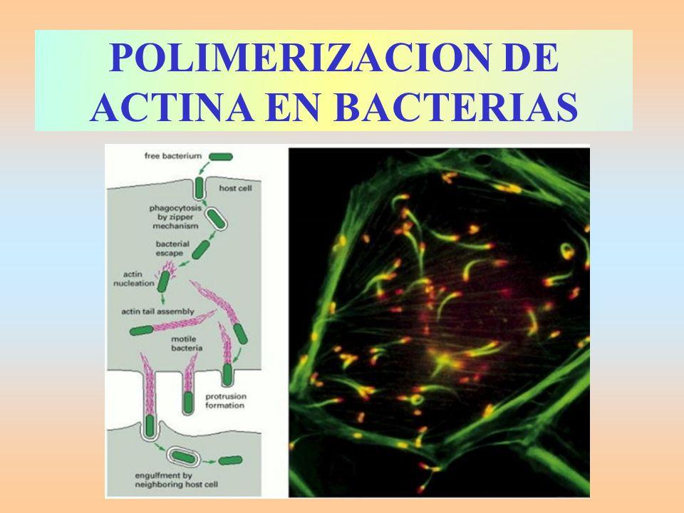 MOVIMIENTO CONTRÁCTIL Youtube sacroplasmic reticulum