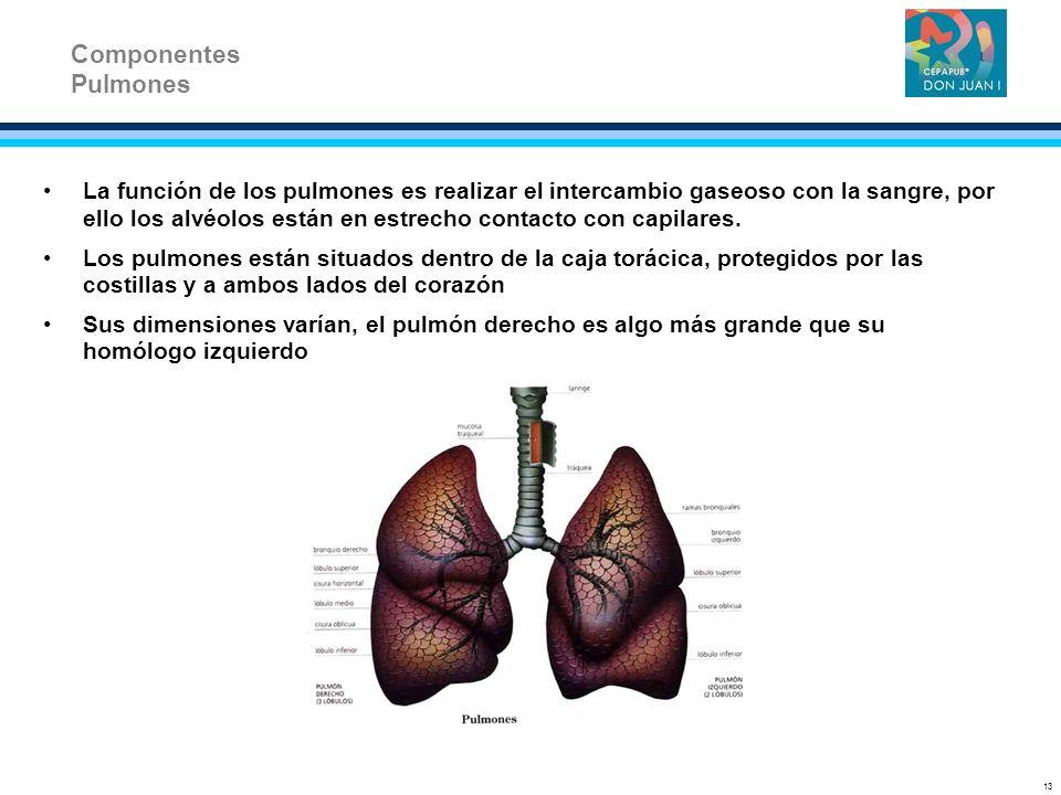 La función de los pulmones es realizar el intercambio gaseoso con la sangre, por ello los alvéolos están en estrecho contacto con capilares. Los pulmo