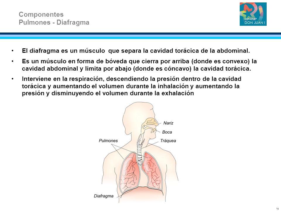 El diafragma es un músculo que separa la cavidad torácica de la abdominal. Es un músculo en forma de bóveda que cierra por arriba (donde es convexo) l