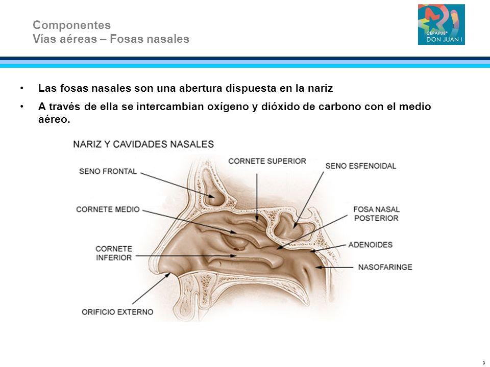 Las fosas nasales son una abertura dispuesta en la nariz A través de ella se intercambian oxígeno y dióxido de carbono con el medio aéreo. Componentes
