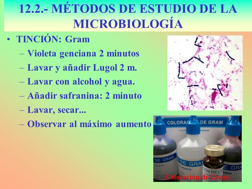TINCIÓN: Gram –Violeta genciana 2 minutos –Lavar y añadir Lugol 2 m. –Lavar con alcohol y agua. –Añadir safranina: 2 minuto –Lavar, secar... –Observar