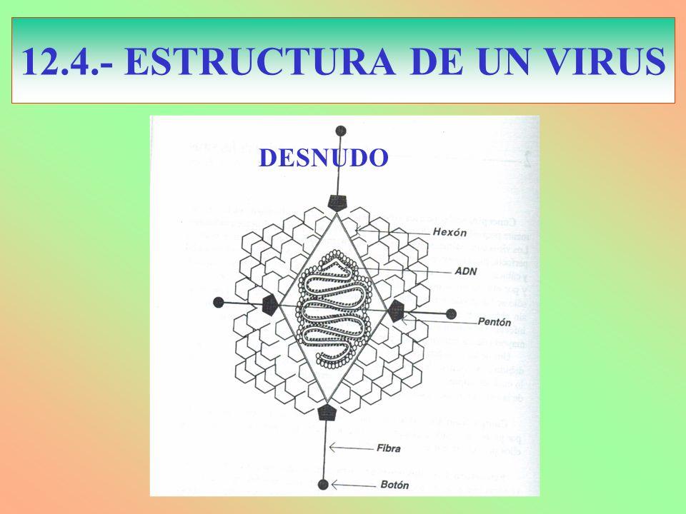 12.4.- ESTRUCTURA DE UN VIRUS DESNUDO