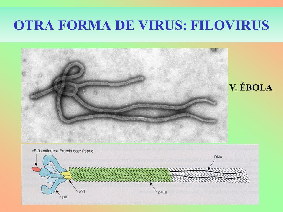 OTRA FORMA DE VIRUS: FILOVIRUS V. ÉBOLA
