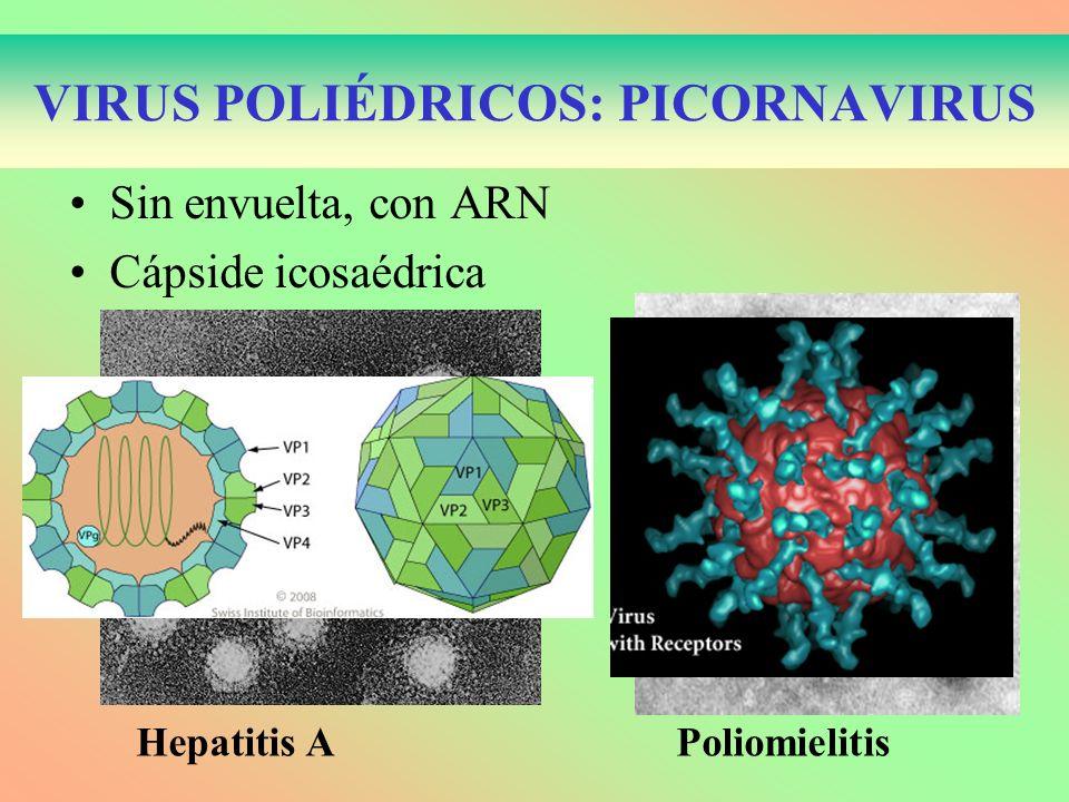 VIRUS POLIÉDRICOS: PICORNAVIRUS Sin envuelta, con ARN Cápside icosaédrica Hepatitis A Poliomielitis