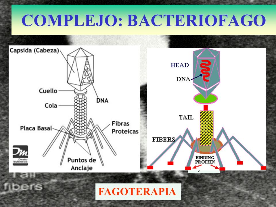 Fijaci COMPLEJO: BACTERIOFAGO FAGOTERAPIA