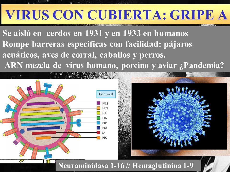 Se aisló en cerdos en 1931 y en 1933 en humanos Rompe barreras específicas con facilidad: pájaros acuáticos, aves de corral, caballos y perros. ARN me