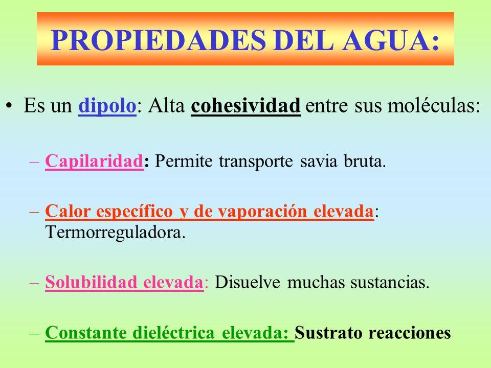 PROPIEDADES DEL AGUA: Es un dipolo: Alta cohesividad entre sus moléculas: –Capilaridad: Permite transporte savia bruta. –Calor específico y de vaporac