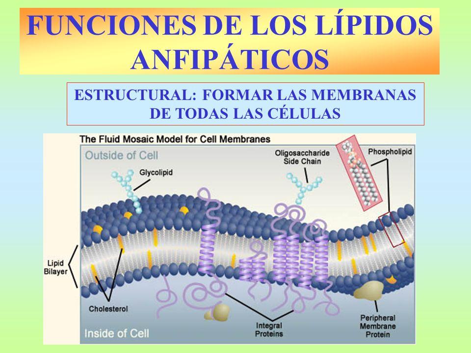 FUNCIONES DE LOS LÍPIDOS ANFIPÁTICOS ESTRUCTURAL: FORMAR LAS MEMBRANAS DE TODAS LAS CÉLULAS