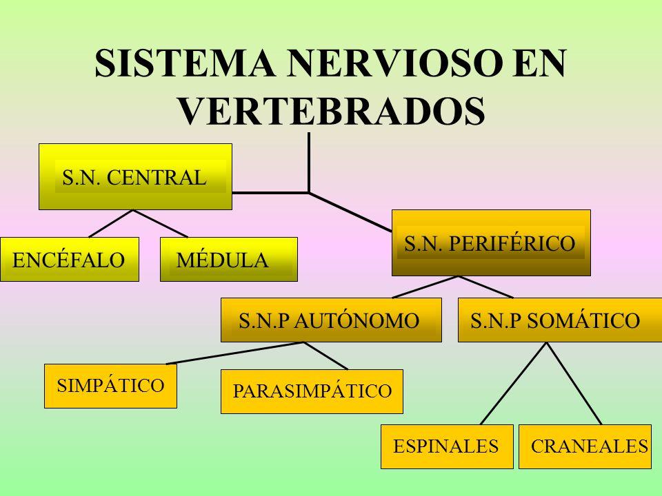 SISTEMA NERVIOSO EN VERTEBRADOS S.N. CENTRAL S.N. PERIFÉRICO ENCÉFALOMÉDULAS.N.P SOMÁTICOS.N.P AUTÓNOMO SIMPÁTICOPARASIMPÁTICOCRANEALESESPINALES