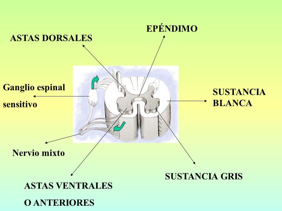 ASTAS DORSALES SUSTANCIA GRIS EPÉNDIMO ASTAS VENTRALES O ANTERIORES SUSTANCIA BLANCA Ganglio espinal sensitivo Nervio mixto
