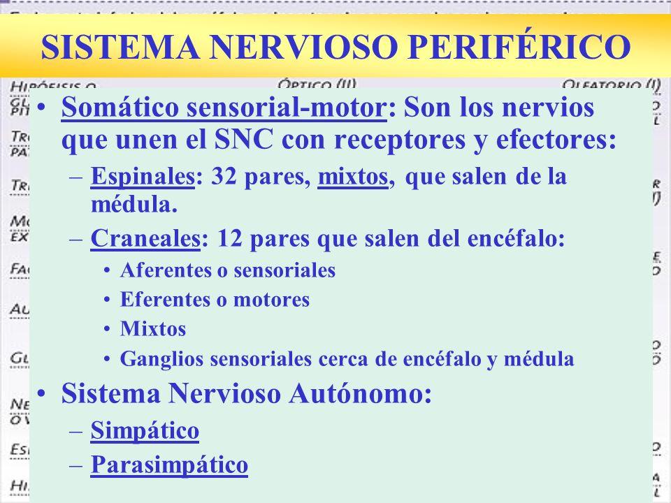 SISTEMA NERVIOSO PERIFÉRICO Somático sensorial-motor: Son los nervios que unen el SNC con receptores y efectores: –Espinales: 32 pares, mixtos, que salen de la médula.