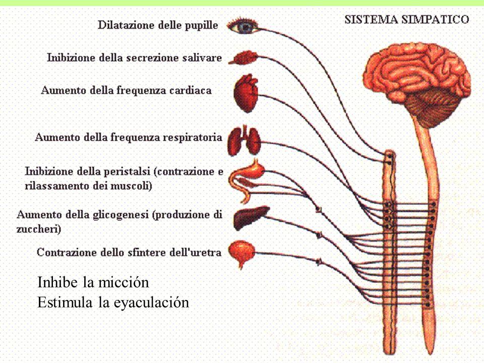 Inhibe la micción Estimula la eyaculación