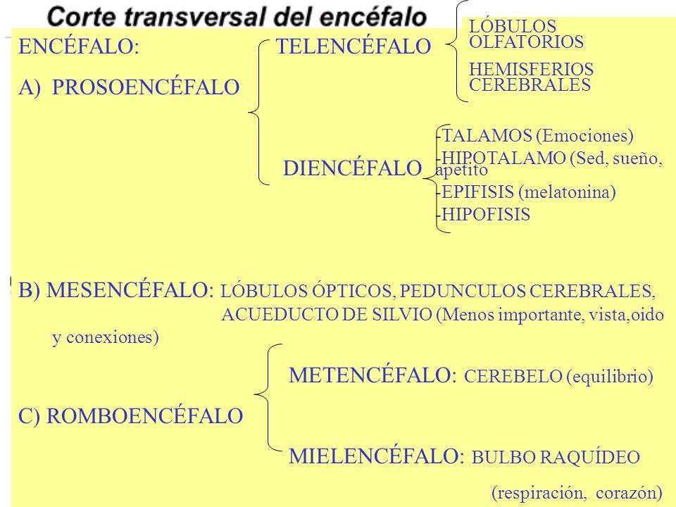 ENCÉFALO: TELENCÉFALO A)PROSOENCÉFALO DIENCÉFALO B) MESENCÉFALO: LÓBULOS ÓPTICOS, PEDUNCULOS CEREBRALES, ACUEDUCTO DE SILVIO (Menos importante, vista,oido y conexiones) METENCÉFALO: CEREBELO (equilibrio) C) ROMBOENCÉFALO MIELENCÉFALO: BULBO RAQUÍDEO (respiración, corazón) LÓBULOS OLFATORIOS HEMISFERIOS CEREBRALES -TALAMOS (Emociones) -HIPOTALAMO (Sed, sueño, apetito -EPIFISIS (melatonina) -HIPOFISIS