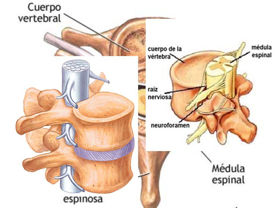 MÉDULA ESPINAL Tubo nervioso que va desde mielencéfalo hasta 2ª vértebra lumbar (ciático) Siempre va por el interior de la columna vertebral Rodeada de las meninges Sustancia gris interna y blanca externa.
