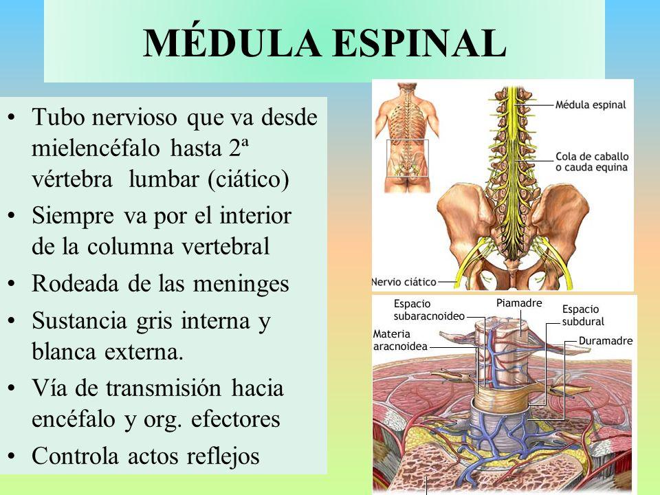 MÉDULA ESPINAL Tubo nervioso que va desde mielencéfalo hasta 2ª vértebra lumbar (ciático) Siempre va por el interior de la columna vertebral Rodeada d