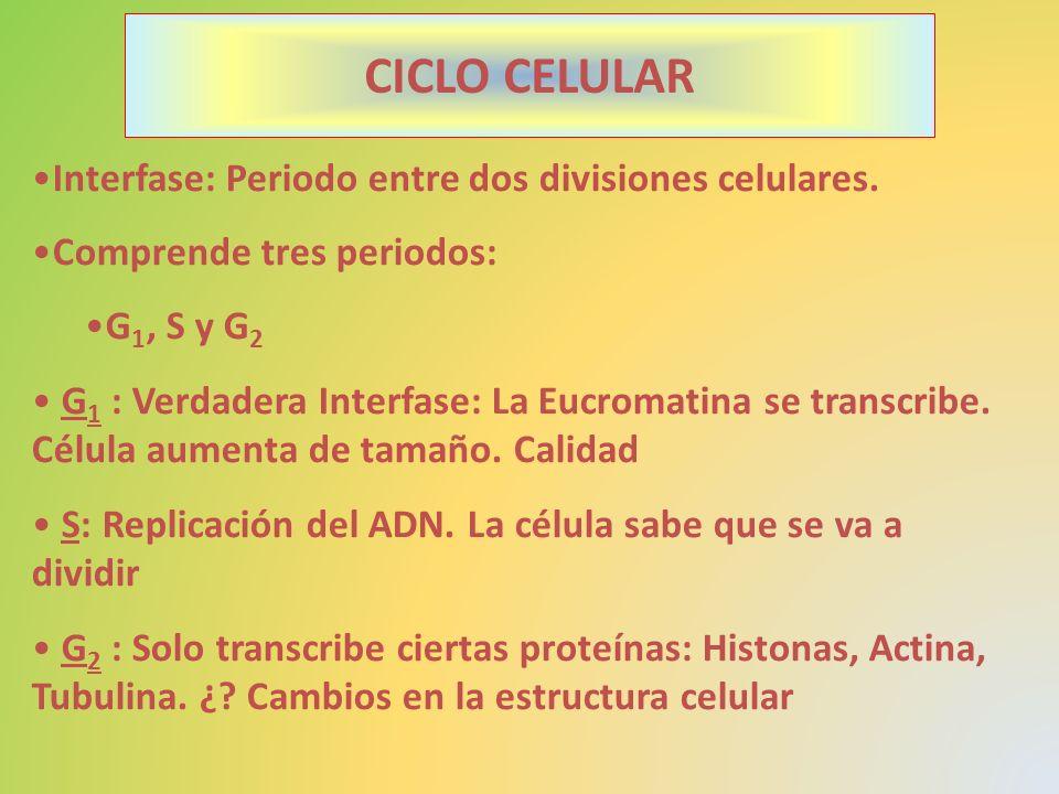 Interfase: Periodo entre dos divisiones celulares. Comprende tres periodos: G 1, S y G 2 G 1 : Verdadera Interfase: La Eucromatina se transcribe. Célu