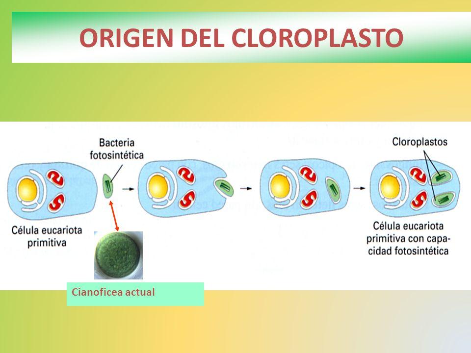ORIGEN DEL CLOROPLASTO Cianoficea actual