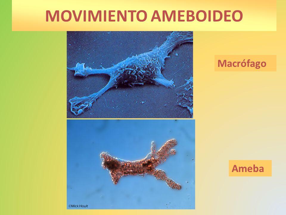 Capacidad de producir individuos, o células semejantes al individuo inicial.