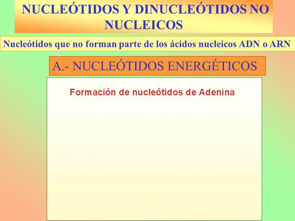NUCLEÓTIDOS Y DINUCLEÓTIDOS NO NUCLEICOS Nucleótidos que no forman parte de los ácidos nucleicos ADN o ARN A.- NUCLEÓTIDOS ENERGÉTICOS