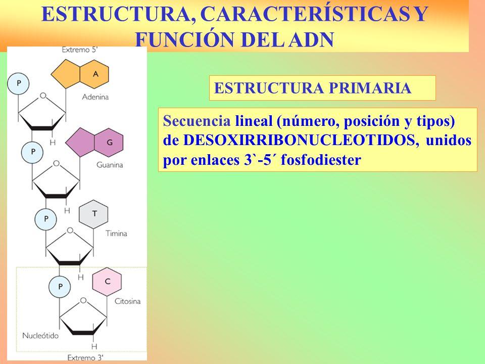ESTRUCTURA PRIMARIA ESTRUCTURA, CARACTERÍSTICAS Y FUNCIÓN DEL ADN Secuencia lineal (número, posición y tipos) de DESOXIRRIBONUCLEOTIDOS, unidos por en