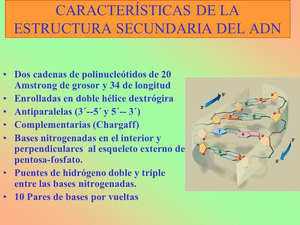 CARACTERÍSTICAS DE LA ESTRUCTURA SECUNDARIA DEL ADN Dos cadenas de polinucleótidos de 20 Amstrong de grosor y 34 de longitud Enrolladas en doble hélic