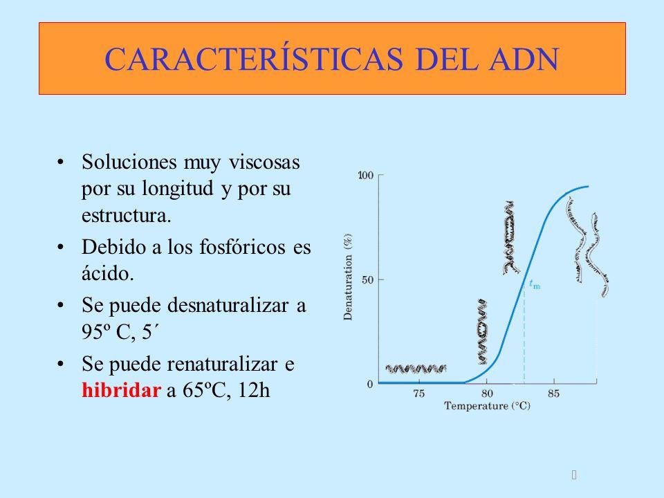 CARACTERÍSTICAS DEL ADN Soluciones muy viscosas por su longitud y por su estructura. Debido a los fosfóricos es ácido. Se puede desnaturalizar a 95º C