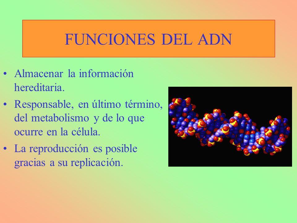 FUNCIONES DEL ADN Almacenar la información hereditaria. Responsable, en último término, del metabolismo y de lo que ocurre en la célula. La reproducci