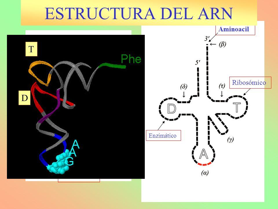 Enzimático Anticodón Aminoacil Variable Ribosómico T D ESTRUCTURA DEL ARN