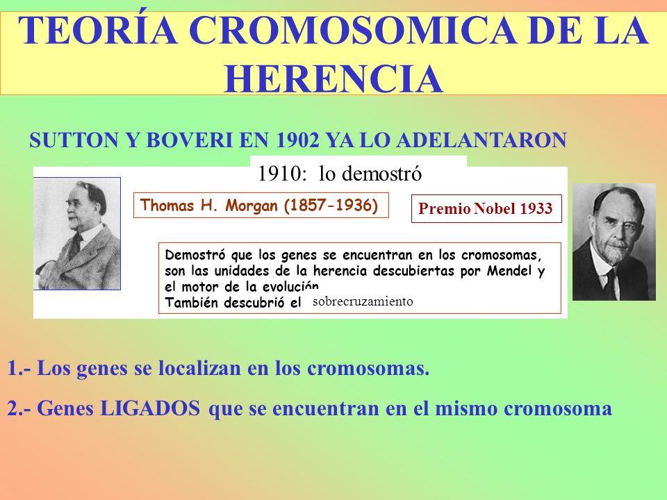 TEORÍA CROMOSOMICA DE LA HERENCIA SUTTON Y BOVERI EN 1902 YA LO ADELANTARON 1.- Los genes se localizan en los cromosomas. 2.- Genes LIGADOS que se enc