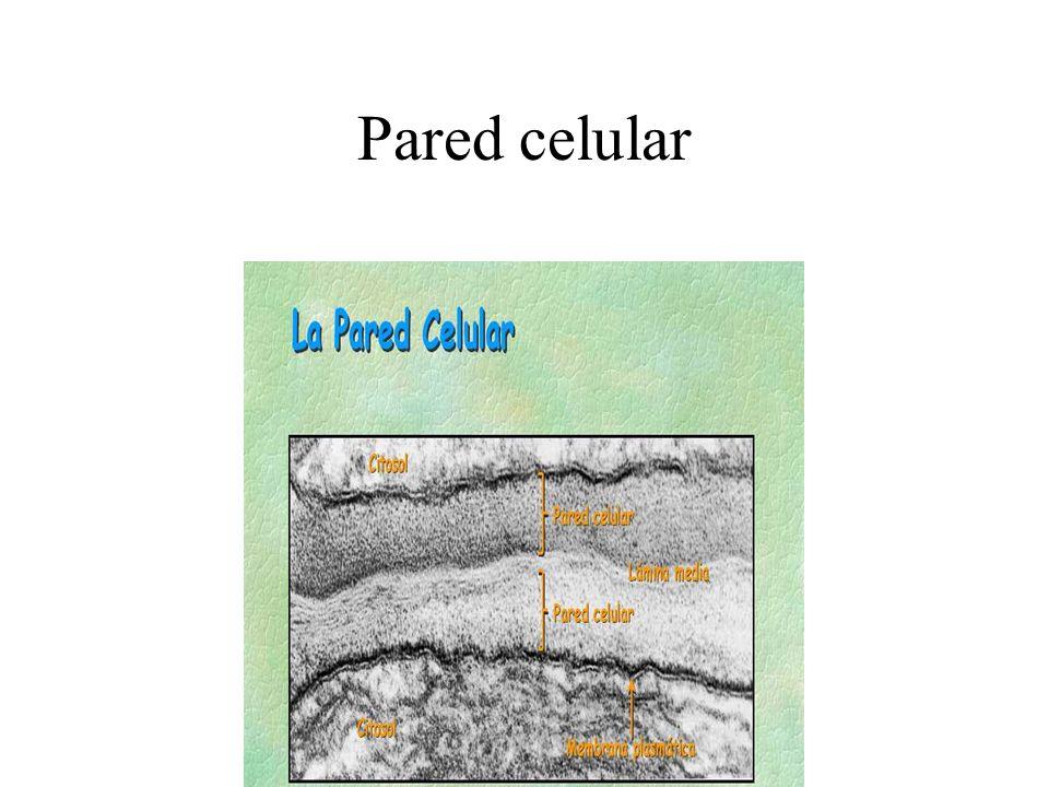ORGANULOS DE LA CELULA Ribosomas Dos subunidades formadas por ARN y proteínas Síntesis de proteinas Retículo endoplasmático rugoso Conjunto de cavidades y vesículas conectadas entre si.
