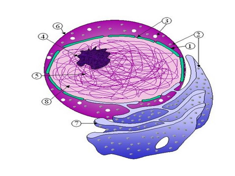 (1) Membrana nuclear (2) Ribosomas (3) Poros Nucleares (4) Nucleolo (5) Cromatina (6) Núcleo (7) Reticulo endoplásmico (8) Nucleoplasma