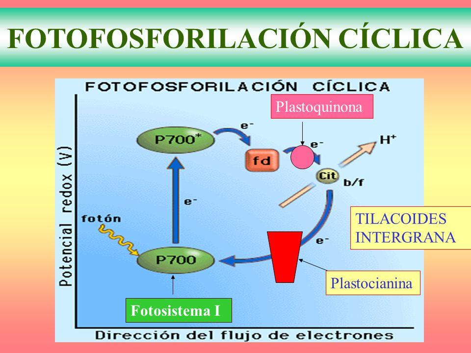 FOTOFOSFORILACIÓN CÍCLICA Plastocianina Plastoquinona Fotosistema I TILACOIDES INTERGRANA