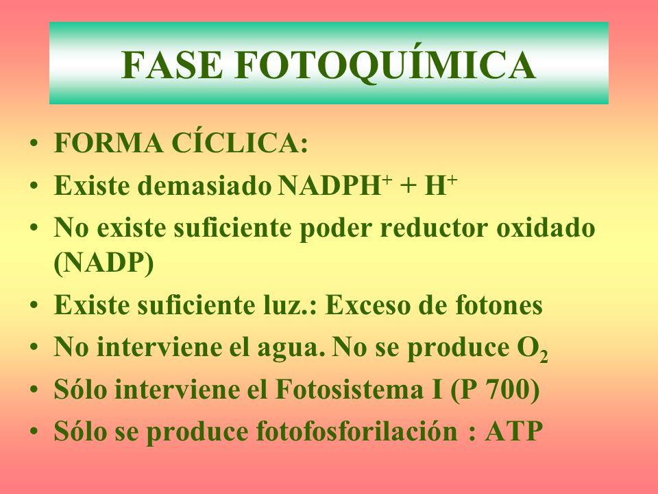 FORMA CÍCLICA: Existe demasiado NADPH + + H + No existe suficiente poder reductor oxidado (NADP) Existe suficiente luz.: Exceso de fotones No interviene el agua.