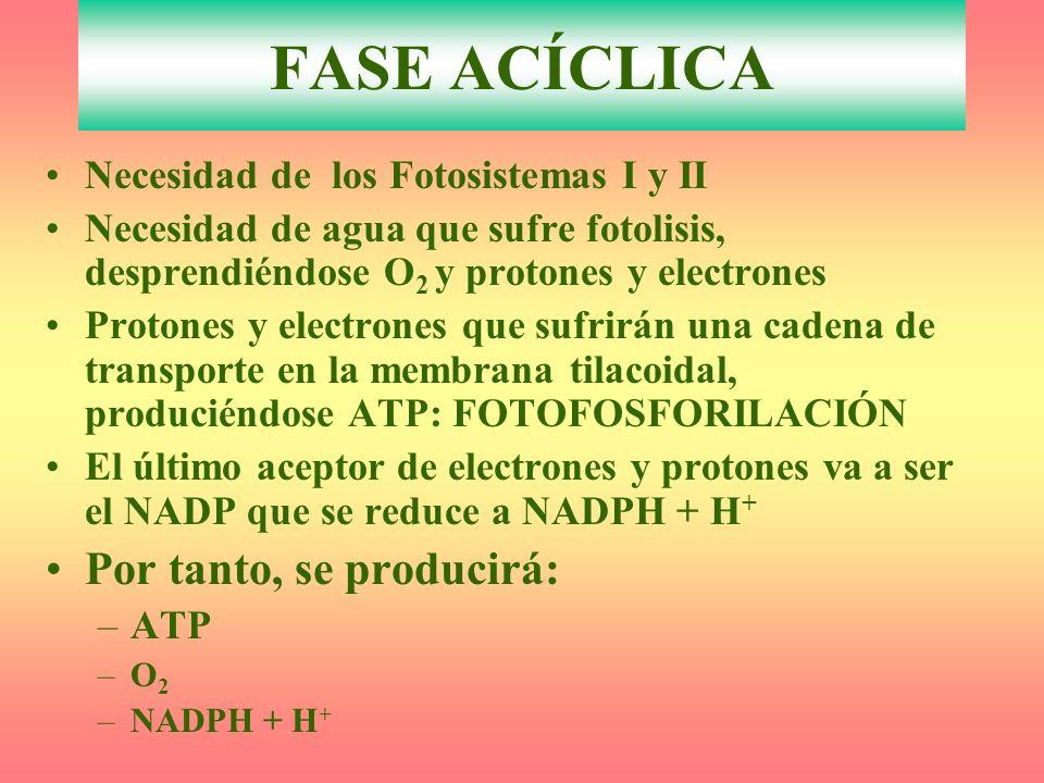 Necesidad de los Fotosistemas I y II Necesidad de agua que sufre fotolisis, desprendiéndose O 2 y protones y electrones Protones y electrones que sufrirán una cadena de transporte en la membrana tilacoidal, produciéndose ATP: FOTOFOSFORILACIÓN El último aceptor de electrones y protones va a ser el NADP que se reduce a NADPH + H + Por tanto, se producirá: –ATP –O2–O2 –NADPH + H + FASE ACÍCLICA