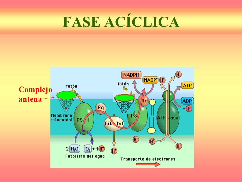 FASE ACÍCLICA Complejo antena