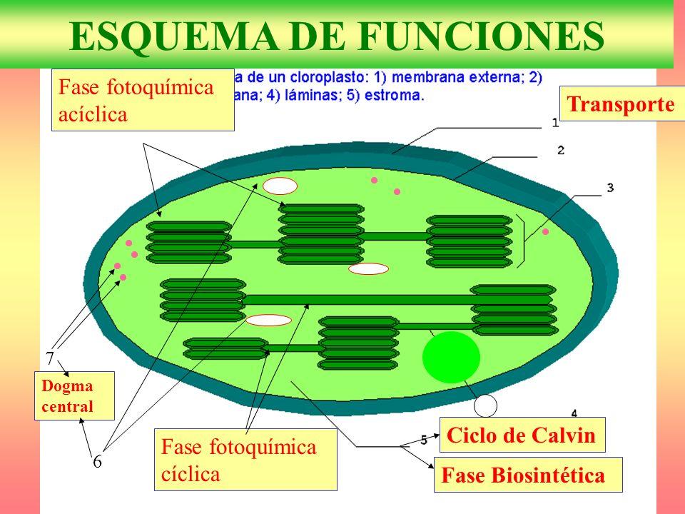 6 7 Dogma central Ciclo de Calvin Fase Biosintética Transporte Fase fotoquímica acíclica Fase fotoquímica cíclica ESQUEMA DE FUNCIONES