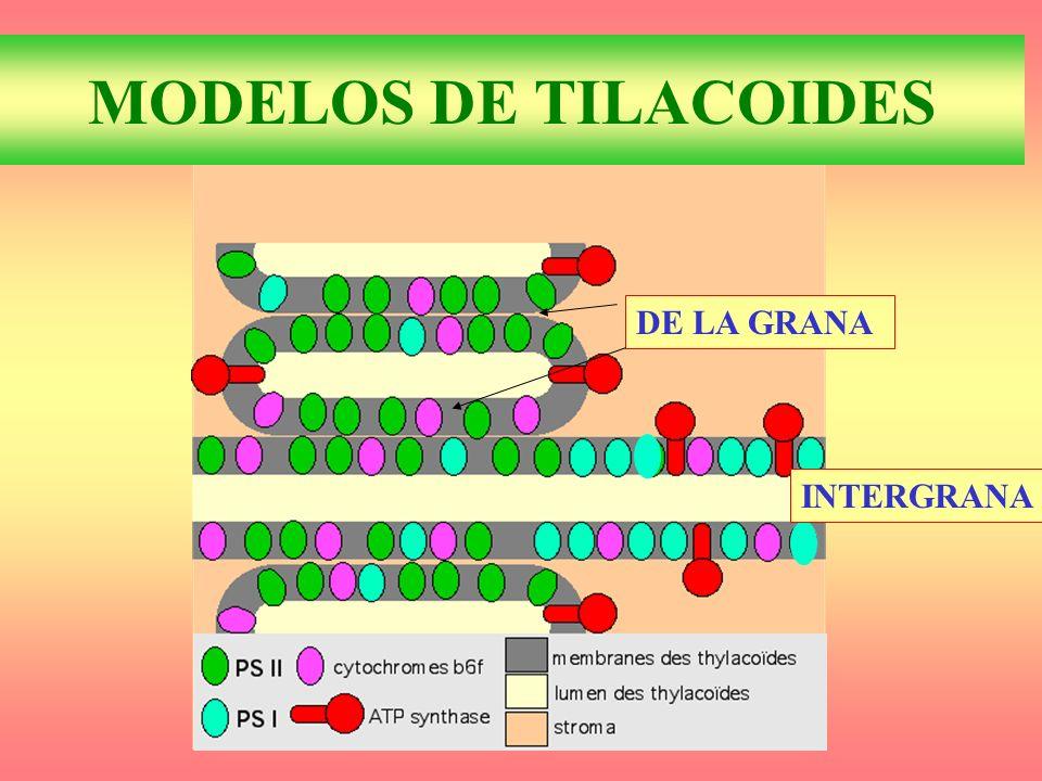 MODELOS DE TILACOIDES DE LA GRANA INTERGRANA