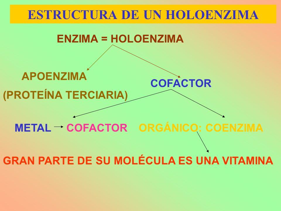 ENZIMA = HOLOENZIMA APOENZIMA COFACTOR METAL COFACTORORGÁNICO: COENZIMA GRAN PARTE DE SU MOLÉCULA ES UNA VITAMINA (PROTEÍNA TERCIARIA) ESTRUCTURA DE U