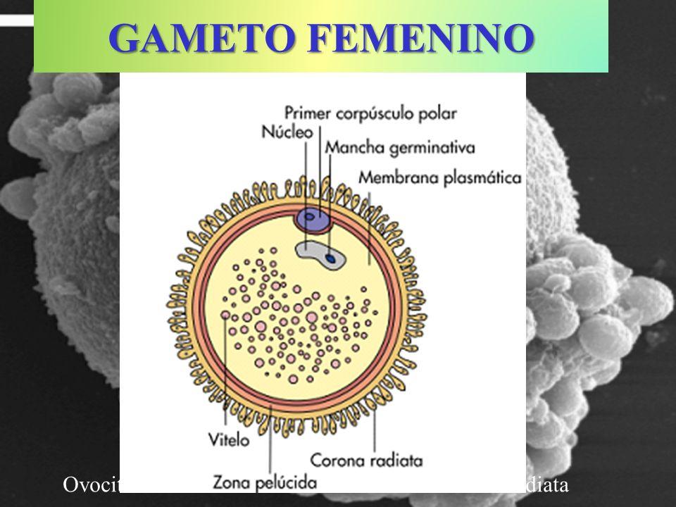 Ovocito humano rodeado de células de la corona radiata GAMETO FEMENINO