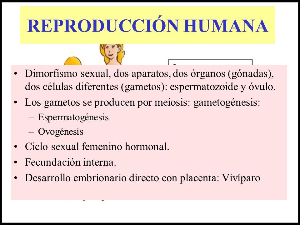 REPRODUCCIÓN HUMANA Dimorfismo sexual, dos aparatos, dos órganos (gónadas), dos células diferentes (gametos): espermatozoide y óvulo. Los gametos se p